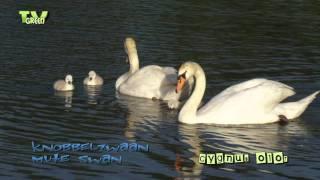 Knobbelzwaan met jongen - Mute swan & cygnets Knobbelzwanen hebben per jaar maar 1 broedsel. De jongen worden door beide ouders verzorgd. Ze kunnen na 4 à 5 maanden vliegen en blijven een heel jaar lang bij hun ouders.   The Mute Swan is one of the heaviest flying birds, with males weighing more than 12kg, and females more than 11 kg. They live in well-sheltered bays, open marshes, lakes, and ponds. 'Swan' is the common gender term, but 'cob' for a male and 'pen' for a female are also used, as is 'cygnet' for the baby swans.  © http://www.tvgreen.nl HD stockshots broadcast format available at: http://www.stockshot.nl/ -