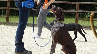 Sam - German Shorthaired Pointer - 4 Week Dog Aggression Residential Dog Training At Adolescent Dogs
