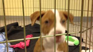 Alissa The Pit Bull Puppy Talks Toys