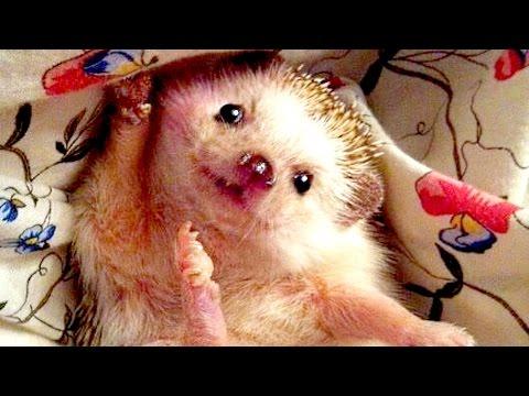 Funny Hedgehog Compilation NEW