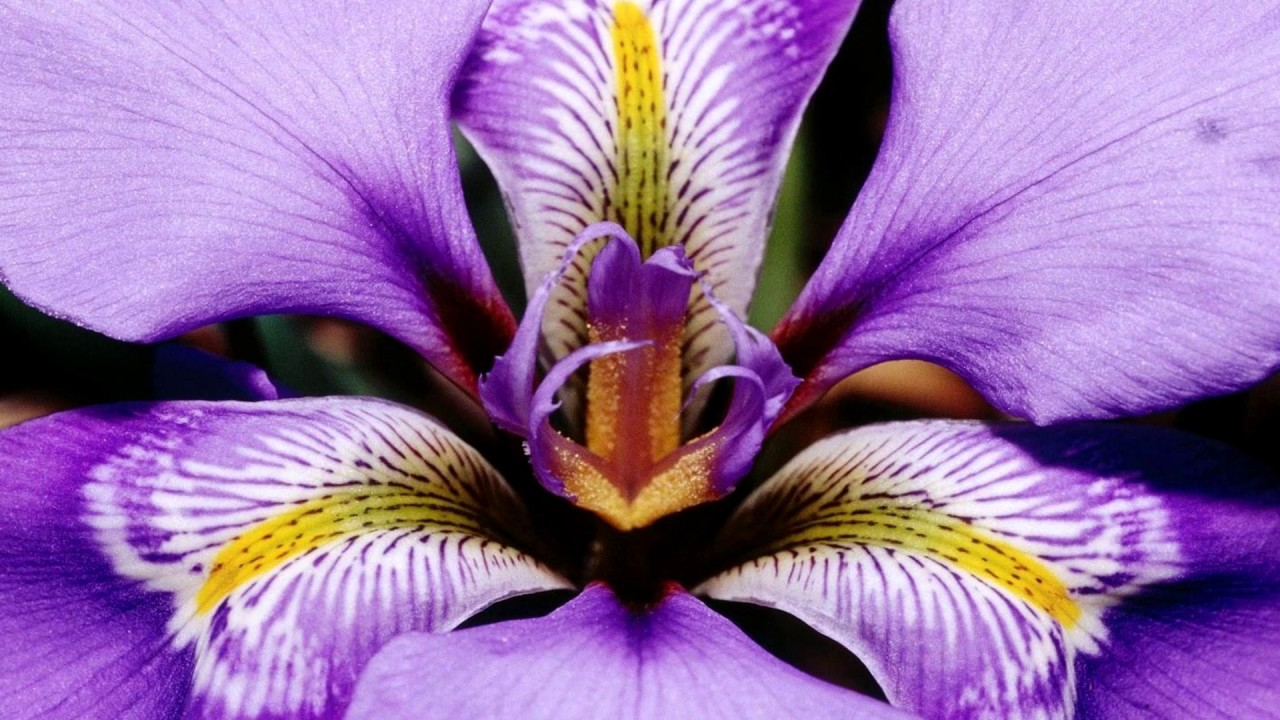 Beautiful Iris Flowers Hd1080p Youtube