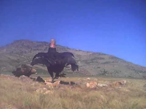 Condor vs golden eagle