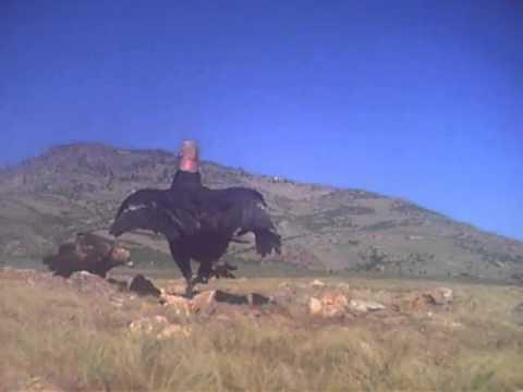 Condor vs golden eagle