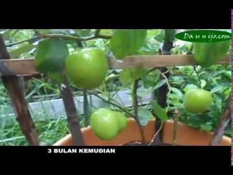 84 Gambar Tanaman Apel India HD