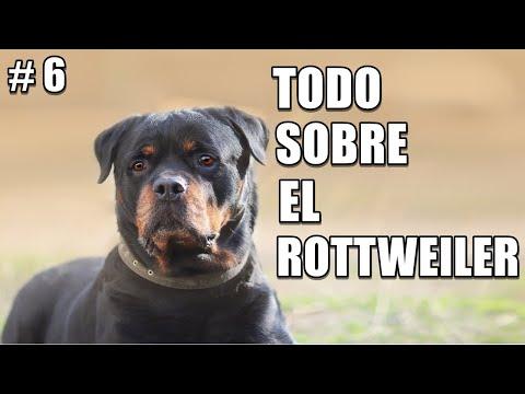Rottweiler – Educación – Salud – Cuidados – Comportamiento – Historia y Origen – Caracteristicas