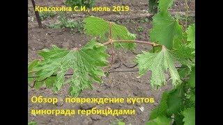 Повреждение кустов винограда гербицидами. Красохина СИ, июль 2019