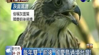 """國慶鳥來了! 鳥迷搶拍""""灰面鷲"""""""