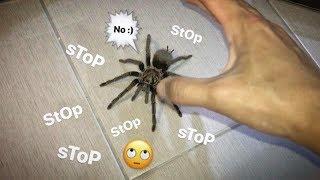 No no.. stop stop stop stop stop stop !!! ~ Green Birdeater TARANTULA [BONUS VIDEO]