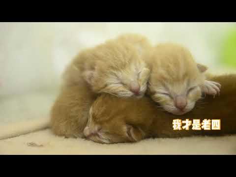 小奶猫出生第1天,老大的花色很特别,还有一只奶凶奶凶的!