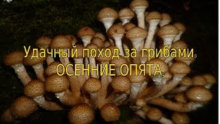 Удачный поход за грибами.Осенние Опята.