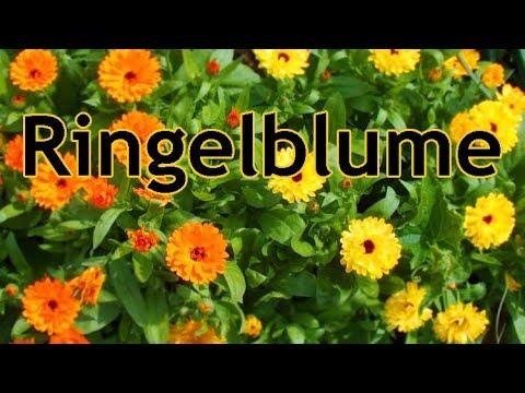 Praktisch: Ringelblumenaussaat und Wissenswertes