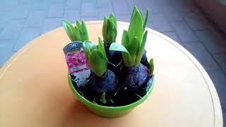 Как выращивать ГИАЦИНТ