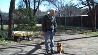 Dallas Dog Training | Redeeming Dogs | Whitney - Cavalier King Charles Spaniel  Off Leash