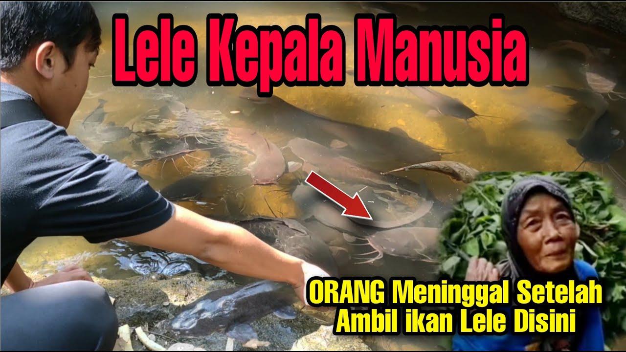 Berani Ambil Ikan Lele Disini Nyawa Taruhannya !! Kerajaan Lele Kedung Jepit Purwantoro.