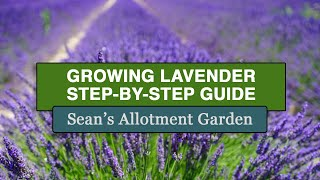 Growing Lavender - The Complete Guide