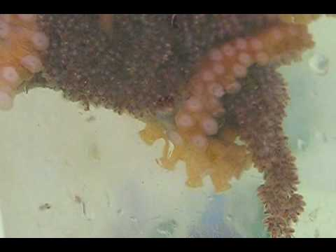 Octopus With Hatching Eggs In Lab