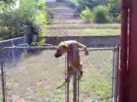 Dog Climbing Chainlink Fence Youtube