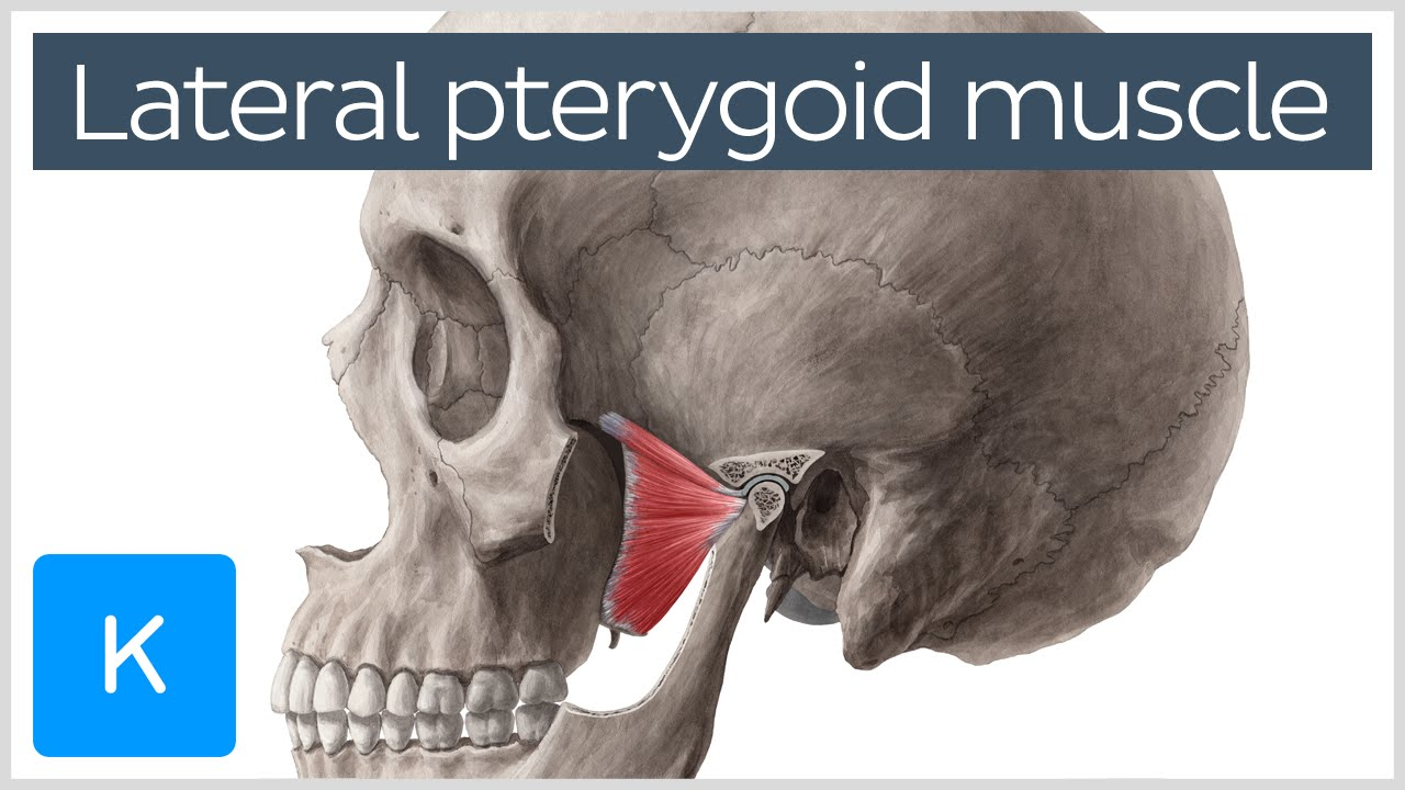 Function of the Lateral Pterygoid Muscle - Human Anatomy | Kenhub ...