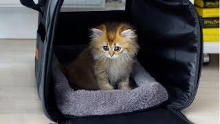 Scottish Straight Kitten's First Day Home