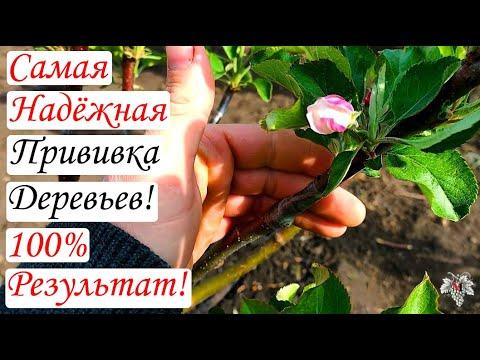 Самая Надёжная ПРИВИВКА Плодовых ДЕРЕВЬЕВ / 100% Приживаемость!!!