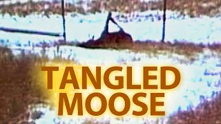 Tangled Moose - It's a Miracle