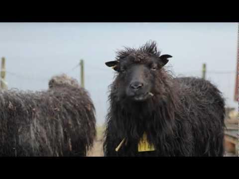 Faroe Islands sheep & weather