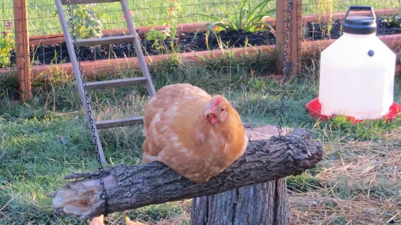 chickens get a swing in their coop youtube