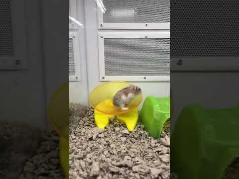 Hamster running from dead meme (not clickbait) :)