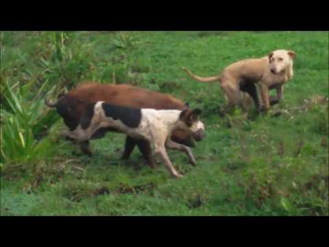 Treinamento de Cães Caça de Javali