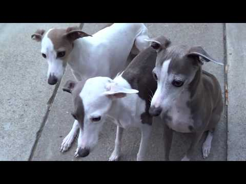 Italian Greyhounds eating their favorite treat...Salmon | Salmon skin