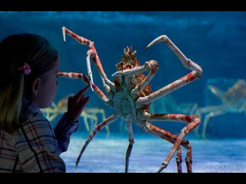 Japanese Spider Crab Youtube
