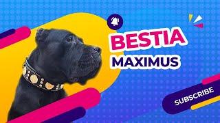 The Best Dog Collar [Bestia Maximus Dog Collar Review]