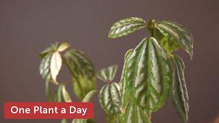 25 of 365: Pilea cadierei 'Variegata' (Aluminum Plant) Houseplant Care