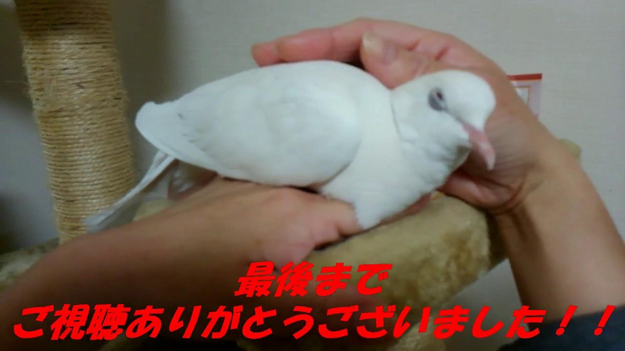 撫でられたら、目を閉じる鳩 かわいい鳩のポッポちゃん - youtube