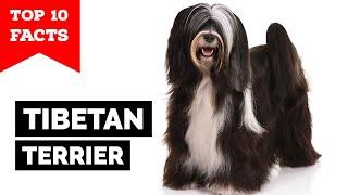 Tibetan Terrier  Top 10 Facts