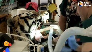 LIVE: Tiger Dentist Gives Rescue Tiger Root Canal at Wild Animal Sanctuary | The Dodo Live