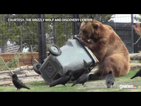 Grizzly bear attempts to open 'bear-proof' trash can
