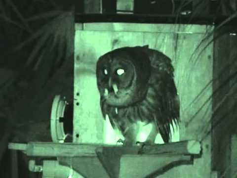 Barred Owl - Papa Calls - Dec 27, 2013 4 55 AM (Loud Hootage)
