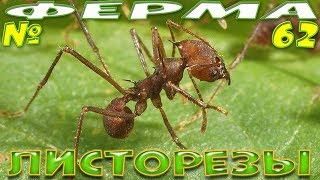 Листорезы Atta cephalotes в офисе Antplanet - Муравьиная ферма