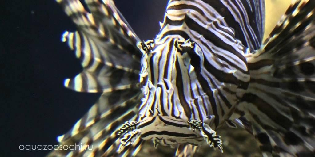 Полосатая крылатка