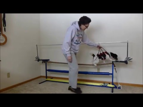 Papillon dog on a tightrope (Day 1 practice)