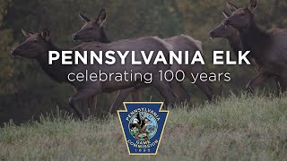 Pennsylvania Elk: Celebrating 100 Years