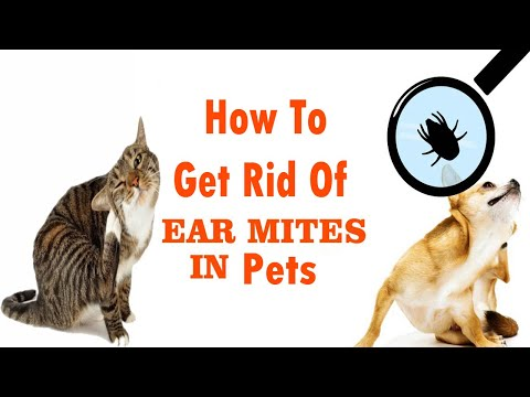 how-to-get-rid-of-ear-mites-in-pets-||-home-remedies-for-ear-mites-in-pets