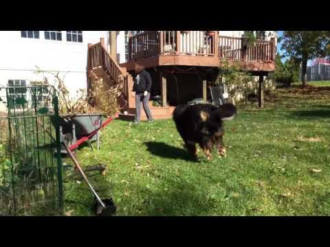 Huge Bernese Mountain dog attacks leaf piles