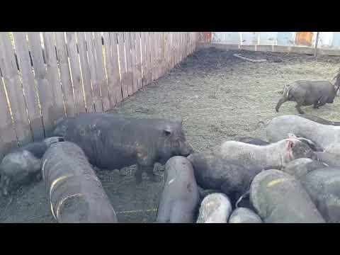 Вьетнамские свиньи - разведение, размножение, созревание