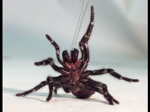Australia: Catching Deadly Funnel-web Spiders To Save Lives