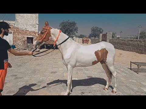 Amazing Ablak Mare - Morni Owner - Rakesh Yadav Nagor@The Horse Photography