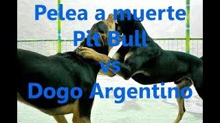 Pit Bull vs Dogo Argentino (P3L34 A MU3RT3) ¿Quién ganaría?