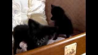 珍しいブラックのポメラニアンの子たちです。 ミニミニサイズの生育中で...