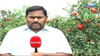 Success Story of Farmer in Pomegranate Cultivation in Kadapa District | Paadi Pantalu